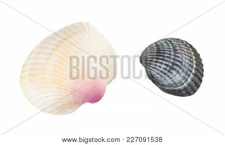 Sea Shell Isolated On White Background. Close Up.