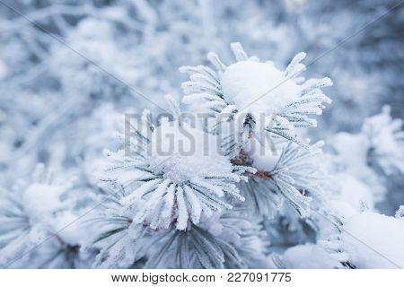 Hoarfrost On Conifer Tree Needles Bokeh Background
