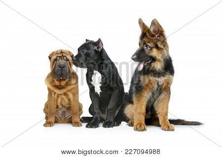 Beautiful Shar Pei, Cane Corso And German Shepard Puppy Dogs Isolated On White Background. Copy Spac