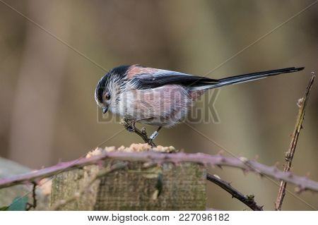 Long-tailed Tit (aegithalos Caudatus) Sitting On The Perch