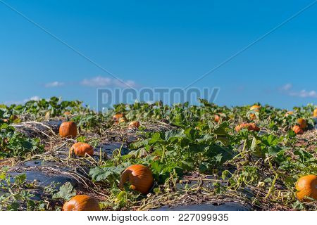 Pumpkin Patch Climbs Hill On Sunny Afternoon