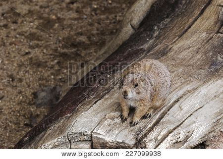 Gopher Or Ground Squirrel Sitting On The Tree Closeup Portrait