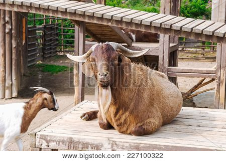 Funny Goat Lying And Gazing On The Rural Wooden Deck