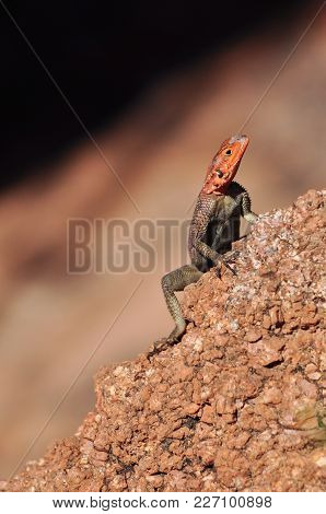 The Common Agama, Red-headed Rock Agama, Is A Species Of Lizard From The Agamidae Family Found In  A