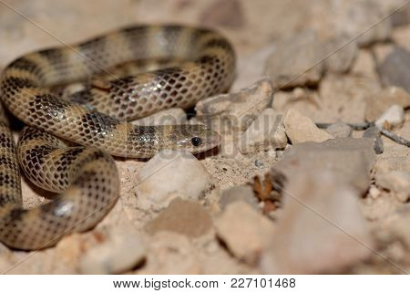 A Small Ground Snake From West Texas Near The Mexico Border.