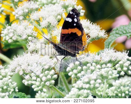 Red Admiral Butterfly On A White Snakeroot Flower On A Shore Of The Lake Ontario In Toronto, Canada,