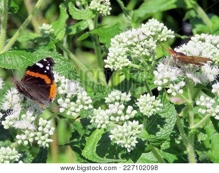 Red Admiral Butterfly On White Snakeroot Flower On A Shore Of The Lake Ontario In Toronto, Canada, A