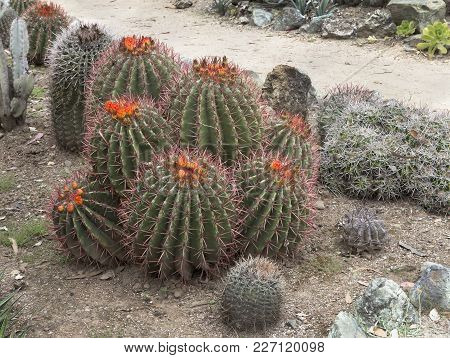 Group Of Blooming  Barrel Cacti (ferocactus Cylindraceus).