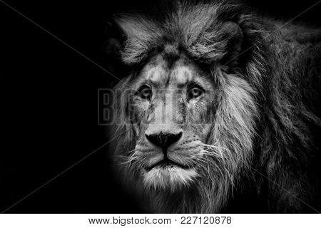 Black And White Dark Poster Lion And Extreme Close Up.