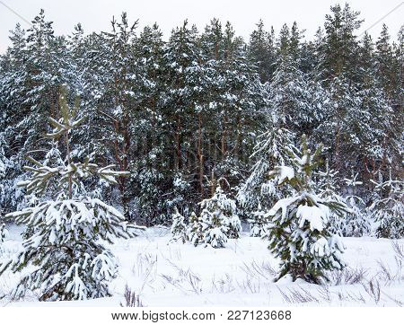 Coniferous Trees In Snow On Nature In Winter .