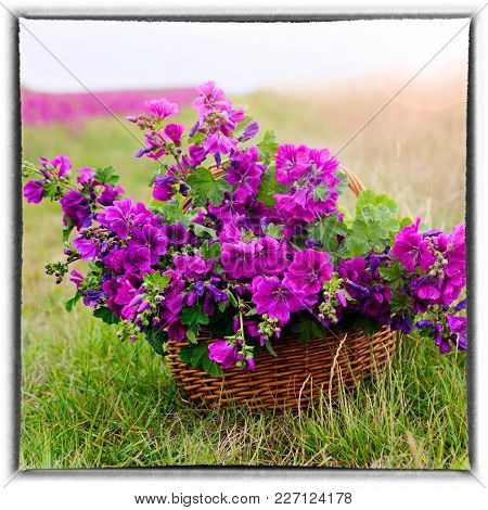 Basket With Beautiful Purple Wild Mallow In Front Of Flowerfield