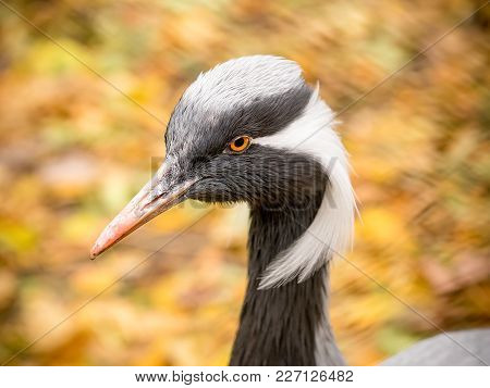 Demoiselle Crane (grus Virgo). Close Up Animal