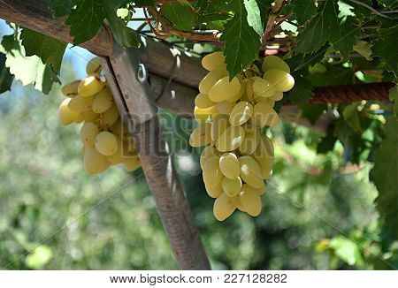 Detail,view, Fresh Aromatic Fruits Grapes In Day