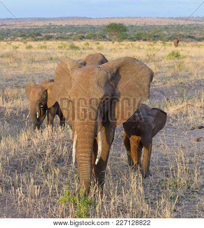 Closeup of African Elephant ( Loxodonta africana, or