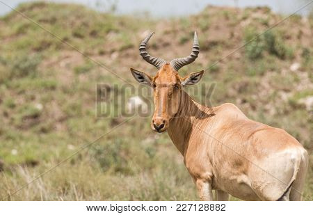 Closeup of a Coke's Hartebeest (scientific name: Connochaetes taurinus or