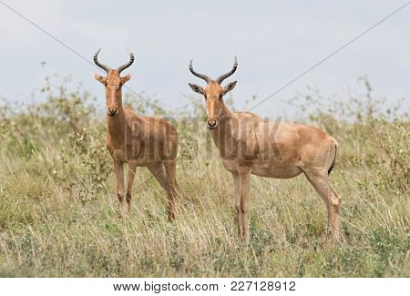 Closeup of a pair of Coke's Hartebeest ( Connochaetes taurinus or