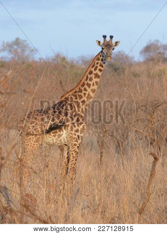 Closeup of Masai Giraffe (scientific name: Giraffa camelopardalis tippelskirchi or