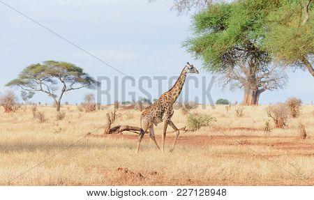 Closeup of Masai Giraffe (Giraffa camelopardalis tippelskirchi or