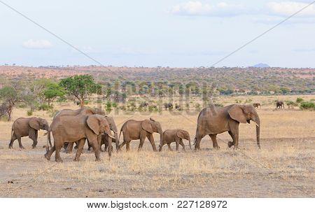 Herd of African Elephant (scientific name: Loxodonta africana, or
