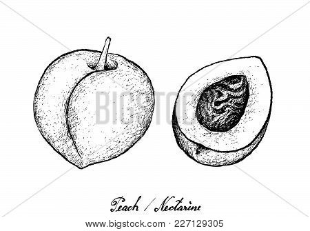 Tropical Fruits, Illustration Of Hand Drawn Sketch Peach, Nectarine Or Runus Persica Fruits Isolated