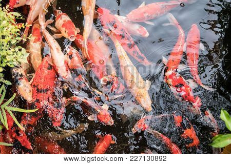 Colorful Fancy Carp Fish Or Koi Fish Are Swimming. Koi Fish Swimming In The Pond.  Water Is Clear Bl