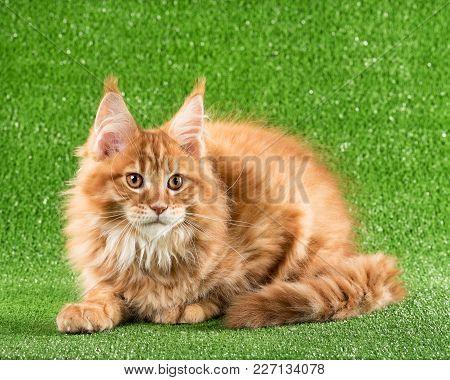 Cute Maine Coon Kitten Over Green Grass Background