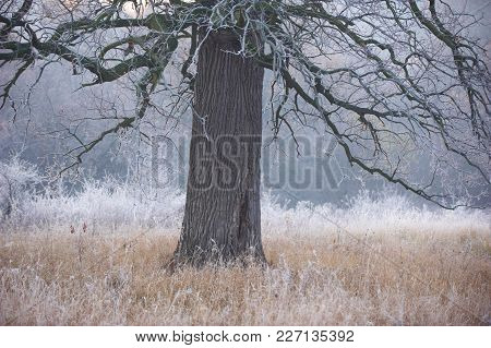 Spooky Looking And Old Oak Tree In Winter With No Leaves, Only Just Visible Through Thick Fog.