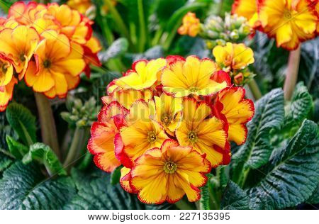 Spring Flowers Background - Yellow Red Edged Primroses