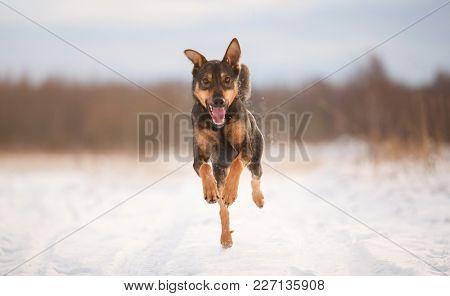 Portrait Of Beautiful Dog, Running At Camera
