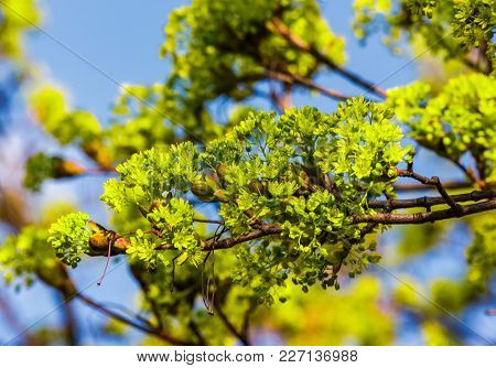Beautiful Green Foliage Of Tree In Springtime. Vivid Natural Background