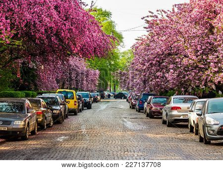 Uzhgorod, Ukraine - April 13, 2016: Streets Of Uzhgorod In Cherry Blossom. Beautiful Springtime Back