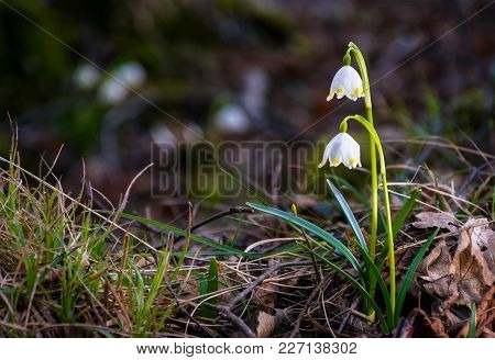 Beautiful Blooming Of White Spring Snowflake Flowers In Springtime. Snowflake Also Called Summer Sno