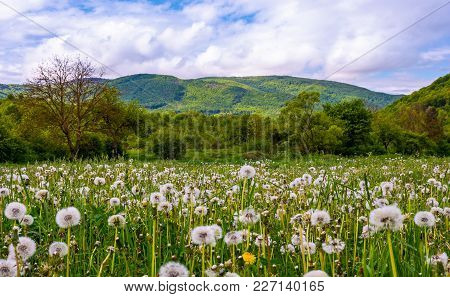 Dandelion Field In Rural Valley. Countryside Landscape In Mountains At Sunrise. Gorgeous Springtime