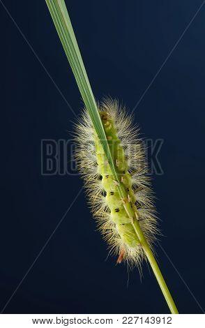 Underneath Of Furry Caterpillar On Grass Blade