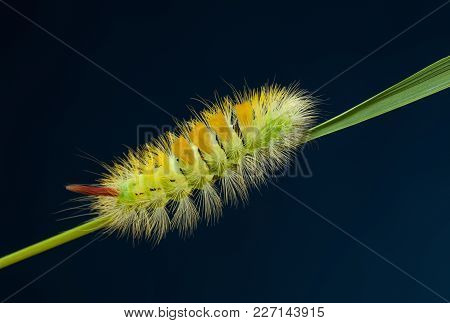 Shaggy Colorful Caterpillar On Blade