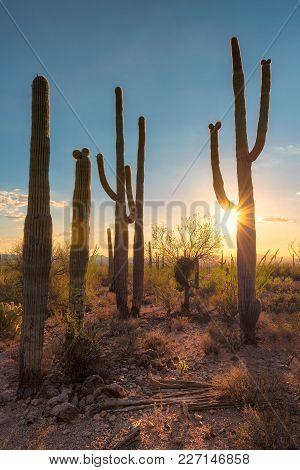 Saguaros At Sunset In Sonoran Desert Near Phoenix.