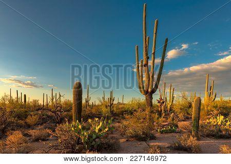 Giant Saguaros At Sunset In Sonoran Desert Near Phoenix.