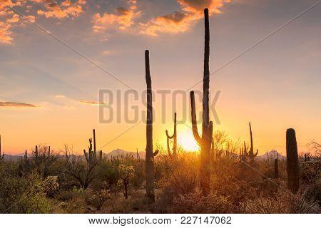 Sunset View Of The Saguaro Cacti In Sonoran Desert Near Phoenix, Arizona.