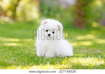 Adorable White Pomeranian Puppy Spitz. High Resolution Photo.