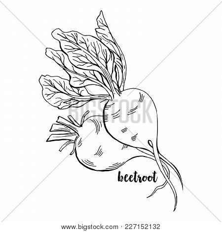 Hand Drawn Beetroots. Isolated Beet Roots With Leaves Vegetable For Thanksgiving Harvest Design. Fre