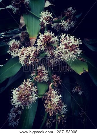 Beautiful Flowers, Dracaena Fragrans Or Cape Of Good Hope. Picture In Dark Tone.