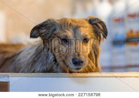 Shetland Sheepdog Takes A Shower At The Dog Parlor
