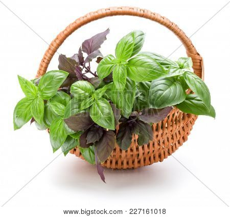 Sweet basil herb leaves bunch in wicker basket isolated on white background cutout