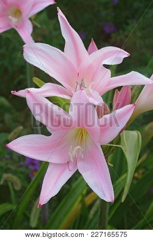 Crinodonna Lily (x Amarcrinum Fred Howard). Called Fred Howard Amacrinum Also.  Hybrid Between Amary