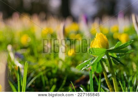 Close-up Of Beautiful Blooming Eranthis (winter Aconite) On A Green Meadow. View On Wonderful Yellow