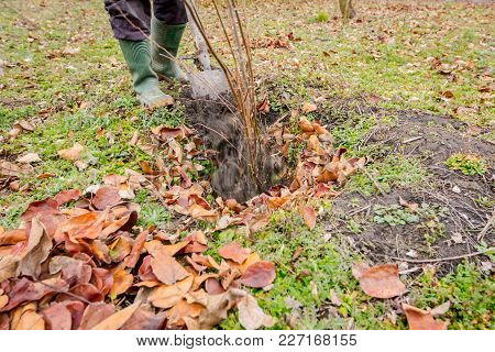 Gardener Is Using Shovel To Planting Young Fruit Tree With Roots To Multiply Minor Plants In His Orc