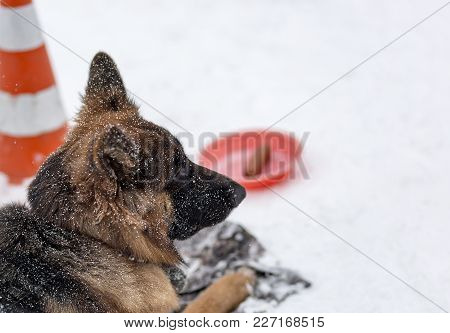 German Shepherd In The Snow Waiting For The Owner