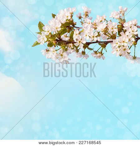 Beautiful Spring Nature Background. The Flowering Time Of Cherry Trees. Branch With White Sakura Blo