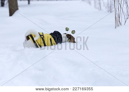 Jack Russell Looking For The Ball In The Snow