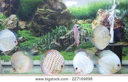 Symphysodon Diskus Fishes In An Aquarium View